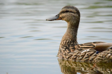 animals-pond-duck-week-19
