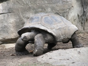 giant-tortoise-reptile-shell-walking-162307