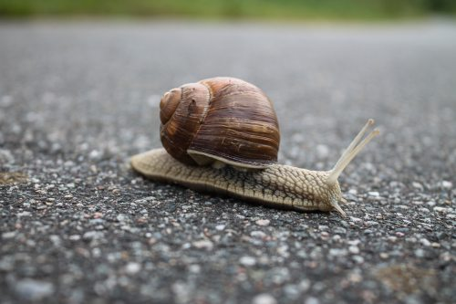 A close up of a snail on a road.